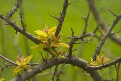 Άγριο αχλάδι Στοκ Εικόνα
