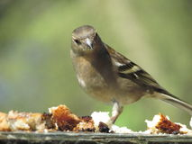 Άγριο βρετανικό πουλί στο δάσος Στοκ Φωτογραφίες