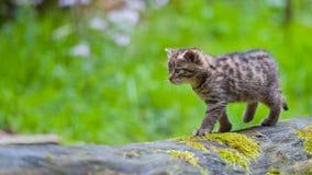 Άγριο γατάκι Στοκ Φωτογραφία