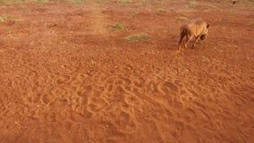 Άγριο γουρούνι στη σαβάνα στην Αφρική απόθεμα βίντεο