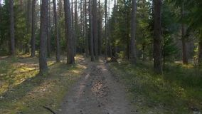 """Άγριο δάσος πεύκων με Ï""""Î¿ πράσινο βρύο κάτω από τα δέντρα απόθεμα βίντεο"""