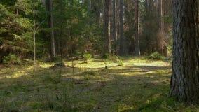 Άγριο δάσος πεύκων με το πράσινο βρύο κάτω από τα δέντρα απόθεμα βίντεο