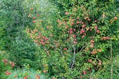 Άγριο δέντρο της Apple με τα μήλα Στοκ φωτογραφία με δικαίωμα ελεύθερης χρήσης