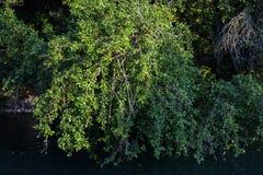 Άγριο δέντρο των κόκκινων δαμάσκηνων πέρα από τον ποταμό Φυσικό πάρκο στη βόρεια Ιταλία στοκ φωτογραφία με δικαίωμα ελεύθερης χρήσης
