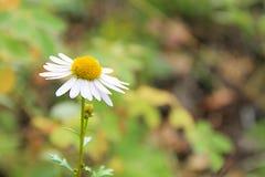 Άγριο δασικό λουλούδι μαργαριτών σε ένα θολωμένο πράσινο υπόβαθρο Στοκ Εικόνες