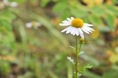 Άγριο δασικό λουλούδι μαργαριτών - chamomile σε ένα θολωμένο πράσινο υπόβαθρο Το λουλούδι βρίσκεται στη δεξιά πλευρά Στοκ Φωτογραφίες