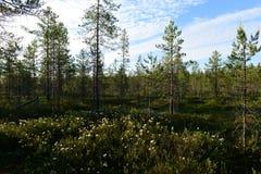 Άγριο δεντρολίβανο στο άνθισμα το καλοκαίρι σε ένα δασικό έλος κάτω από έναν μπλε ουρανό πρωινού στοκ εικόνες