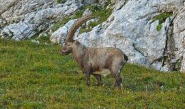 Άγριο ευρωπαϊκό αλπικό αγριοκάτσικο στο περιβάλλον φύσης στοκ φωτογραφίες με δικαίωμα ελεύθερης χρήσης