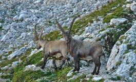 Άγριο ευρωπαϊκό αλπικό αγριοκάτσικο στο περιβάλλον φύσης στοκ εικόνα
