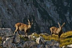 Άγριο ευρωπαϊκό αλπικό αγριοκάτσικο στο περιβάλλον φύσης στοκ φωτογραφίες