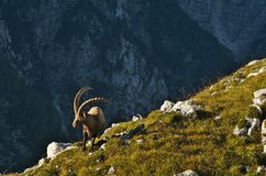 Άγριο ευρωπαϊκό αλπικό αγριοκάτσικο στο περιβάλλον φύσης στοκ εικόνες