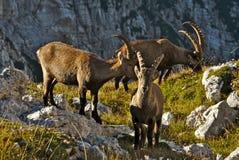 Άγριο ευρωπαϊκό αλπικό αγριοκάτσικο στο περιβάλλον φύσης στοκ φωτογραφία με δικαίωμα ελεύθερης χρήσης