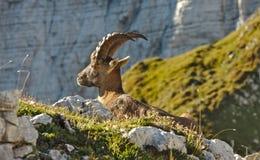 Άγριο ευρωπαϊκό αλπικό αγριοκάτσικο στο περιβάλλον φύσης στοκ εικόνα με δικαίωμα ελεύθερης χρήσης