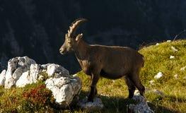 Άγριο ευρωπαϊκό αλπικό αγριοκάτσικο στο περιβάλλον φύσης στοκ φωτογραφία