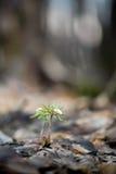 Άγριο ελατήριο ξύλινο Anemone Στοκ φωτογραφίες με δικαίωμα ελεύθερης χρήσης