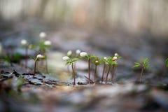 Άγριο ελατήριο ξύλινο Anemone Στοκ Εικόνα