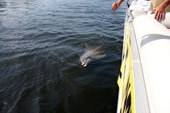 Άγριο δελφίνι της Φλώριδας Στοκ Εικόνες