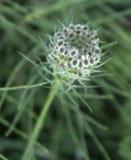 Άγριο ζιζάνιο λουλουδιών Στοκ εικόνες με δικαίωμα ελεύθερης χρήσης