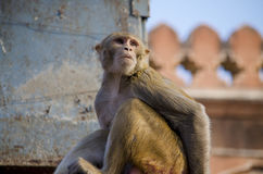 άγριο ζώο ένας πίθηκος ένα macaque στην Ινδία Στοκ Φωτογραφίες