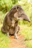 Άγριο ζώο αρσενικό Tapir Tapirus Pinchaque Στοκ φωτογραφία με δικαίωμα ελεύθερης χρήσης