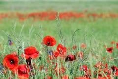 άγριο λιβάδι λουλουδιών παπαρουνών Στοκ φωτογραφία με δικαίωμα ελεύθερης χρήσης