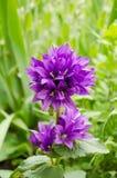 Άγριο ιώδες λουλούδι στη φύση Στοκ φωτογραφία με δικαίωμα ελεύθερης χρήσης