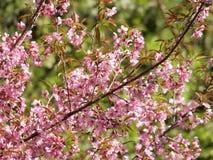 Άγριο κεράσι Himalayan, ταϊλανδικό sakura Στοκ φωτογραφία με δικαίωμα ελεύθερης χρήσης