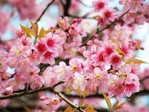 Άγριο κεράσι Himalayan, ταϊλανδικό sakura Στοκ Εικόνα