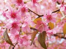 Άγριο κεράσι Himalayan, ταϊλανδικό sakura Στοκ Φωτογραφίες