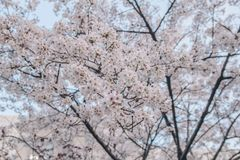 Άγριο κεράσι Himalayan, Prunus cerasoides, βύσσινο, CE Cerasus στοκ εικόνες με δικαίωμα ελεύθερης χρήσης