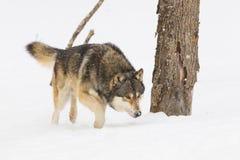 Άγριο κυνήγι λύκων ξυλείας Στοκ Εικόνες