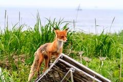 Άγριο κόκκινο beringiana Vulpes αλεπούδων vulpes που στέκεται στην καταστροφή της οικοδόμησης Χερσόνησος Καμτσάτκα, Ρωσία στοκ φωτογραφία