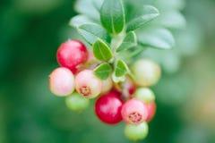 Άγριο κόκκινο cowberry μούρων, foxberry, lingonberry με την κινηματογράφηση σε πρώτο πλάνο φύλλων Ακατέργαστα, οργανικά υλικά για στοκ εικόνες