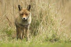Άγριο κόκκινο cub αλεπούδων Στοκ Εικόνα