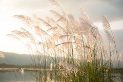 Άγριο λουλούδι καλάμων ή χλόης που φυσά στον αέρα Λίμνη και βουνό Στοκ Φωτογραφία