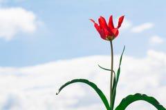 Άγριο λουλούδι τουλιπών στοκ εικόνες με δικαίωμα ελεύθερης χρήσης
