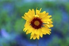 Άγριο λουλούδι Aristata Gaillardia Στοκ φωτογραφία με δικαίωμα ελεύθερης χρήσης