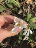 Άγριο λουλούδι Galanthus άνοιξη, snowdrop υπό εξέταση στοκ φωτογραφίες