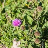 Άγριο λουλούδι silymarin Το κύριο συστατικό των φαρμάκων συκωτιού Στοκ Εικόνα