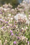 Άγριο λουλούδι silymarin Το κύριο συστατικό των φαρμάκων συκωτιού Στοκ φωτογραφία με δικαίωμα ελεύθερης χρήσης