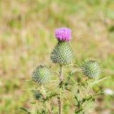 Άγριο λουλούδι silymarin Το κύριο συστατικό των φαρμάκων συκωτιού Στοκ εικόνα με δικαίωμα ελεύθερης χρήσης