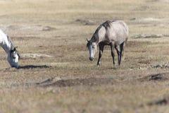 Άγριο μάστανγκ στο εθνικό πάρκο Badlands του Θεόδωρος Ρούσβελτ στοκ εικόνα με δικαίωμα ελεύθερης χρήσης