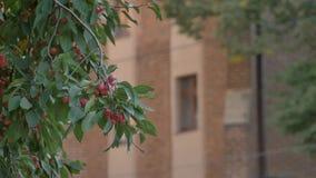 Άγριο μικρό δέντρο μηλιάς στην πόλη φιλμ μικρού μήκους