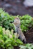 Άγριο μικρό ζώο - με μακριά ουρά επίγειος σκίουρος Στοκ Φωτογραφία