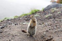 Άγριο μικρό ζώο - με μακριά ουρά επίγειος σκίουρος Στοκ Εικόνες