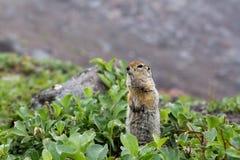 Άγριο μικρό ζώο - με μακριά ουρά επίγειος σκίουρος Στοκ φωτογραφία με δικαίωμα ελεύθερης χρήσης