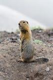 Άγριο μικρό ζώο - με μακριά ουρά επίγειος σκίουρος Στοκ εικόνες με δικαίωμα ελεύθερης χρήσης