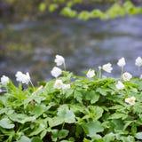 Άγριο λουλούδι άνοιξη Στοκ φωτογραφία με δικαίωμα ελεύθερης χρήσης