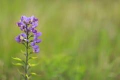 Άγριο λουλούδι άνοιξη - Bluebonnets Στοκ φωτογραφία με δικαίωμα ελεύθερης χρήσης