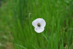 Άγριο λουλούδι άσπρων παπαρουνών. Στοκ Εικόνες